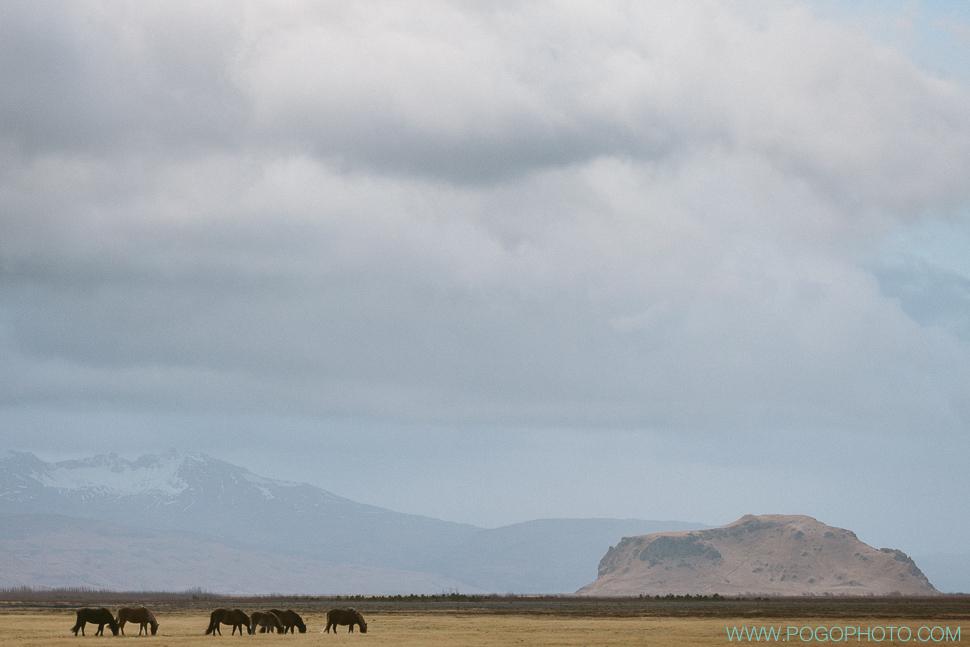 Icelandic horses in November