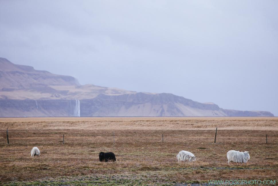 Icelandic sheep near Selandjafoss in winter